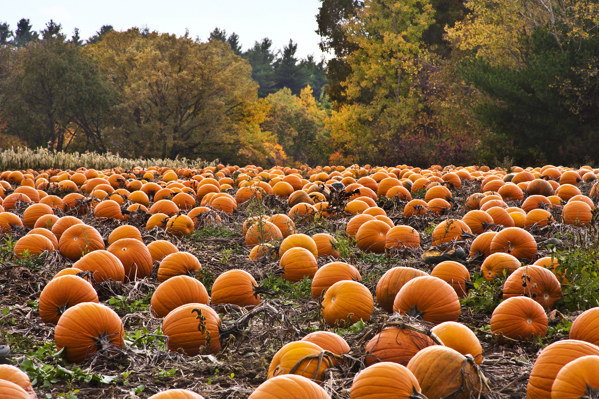 pumpkin-patch-desktop-wallpaper-5653-5939-hd-wallpapers